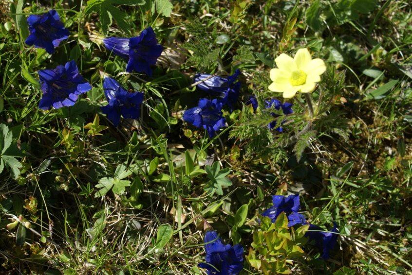 Golf & Natur: Beitrag Mai Enzian und Anemone