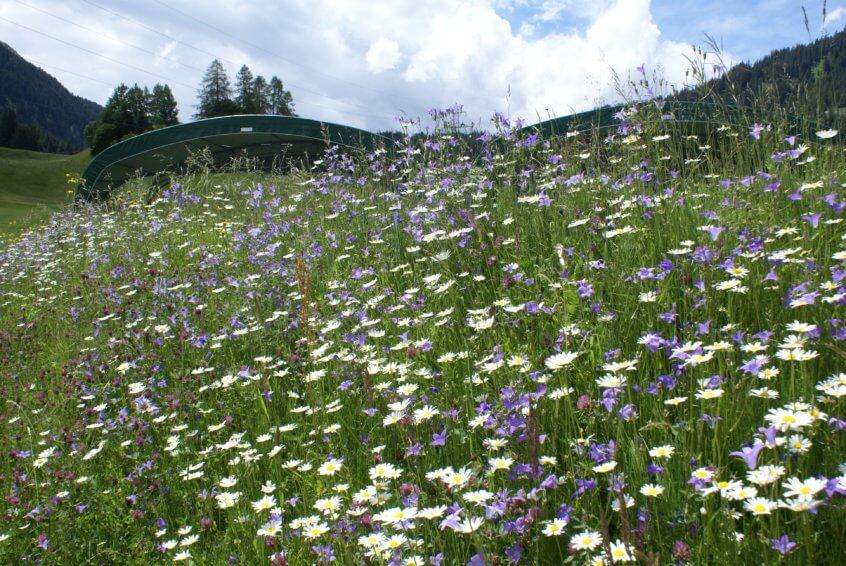 Wiesenblumen Golfplatz klosters